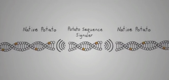 Gene splicing a potato