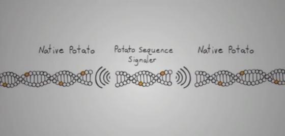 Gene splicing a potato